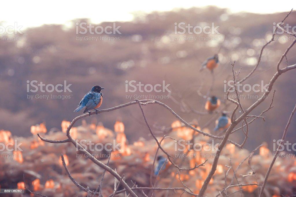 mirlo stock photo