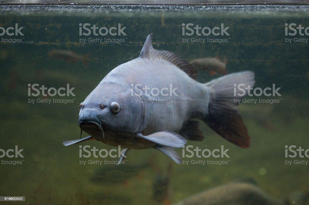 Mirror carp (Cyprinus carpio carpio) stock photo