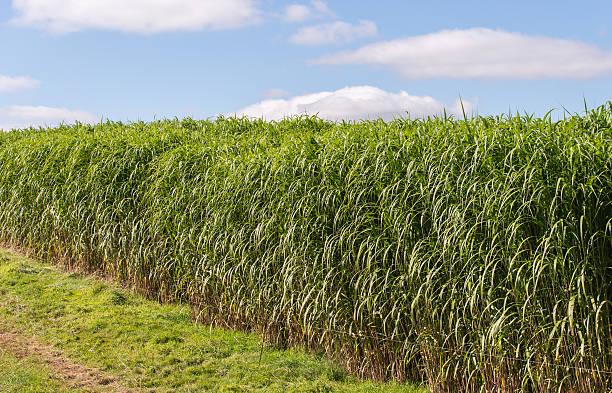 miscanthus giganteus-biomasse crop - chinaschilf stock-fotos und bilder