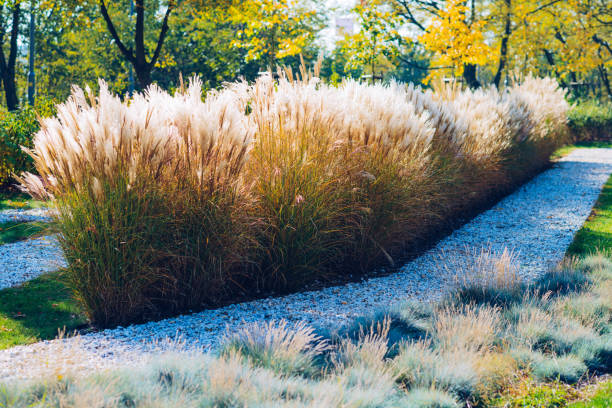 miscanthus gigantic grass in autumn colors and scenery - miscanthus sinensis foto e immagini stock