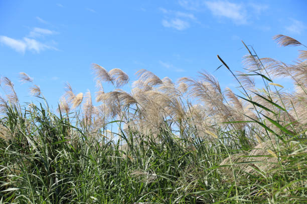 miscanthus in taiwan - chinaschilf stock-fotos und bilder