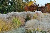 秋のススキを風景します。