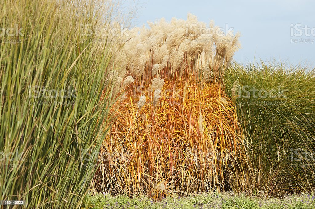miscanthus thickets stock photo