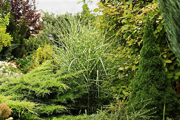 miscanthus zebrinus, conic canadian spruce, juniper - chinaschilf stock-fotos und bilder