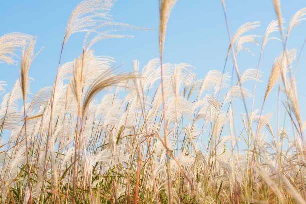 miscanthus-shining silver grass - chinaschilf stock-fotos und bilder