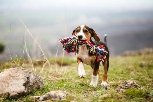 Mischief mixed breed puppy holding a colorful toy in his jaw stock photo