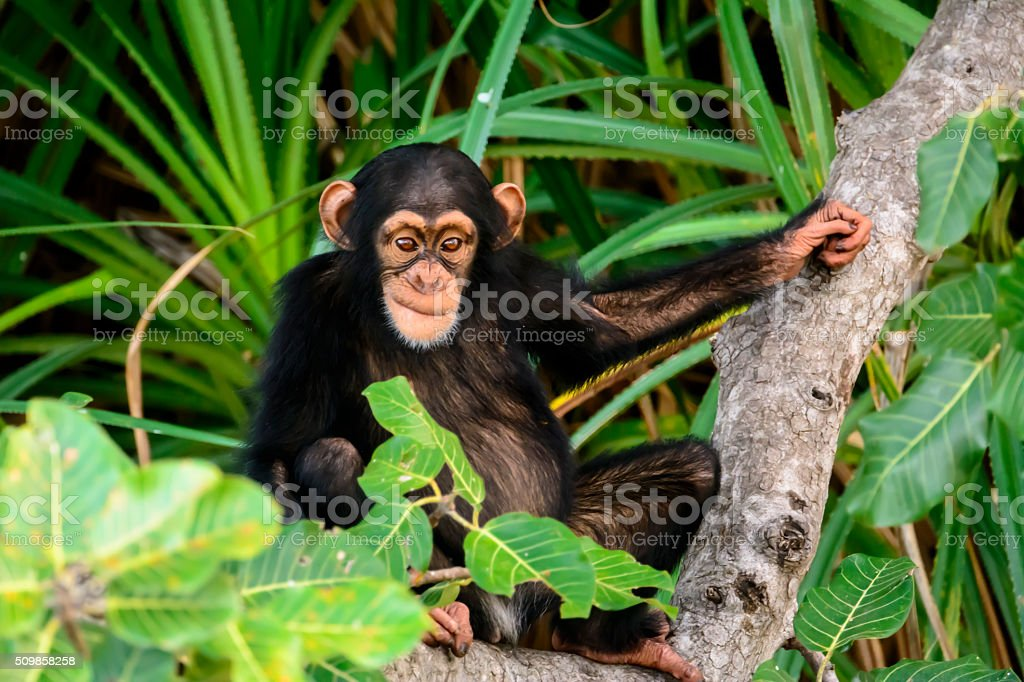 mischievous chimp watching stock photo