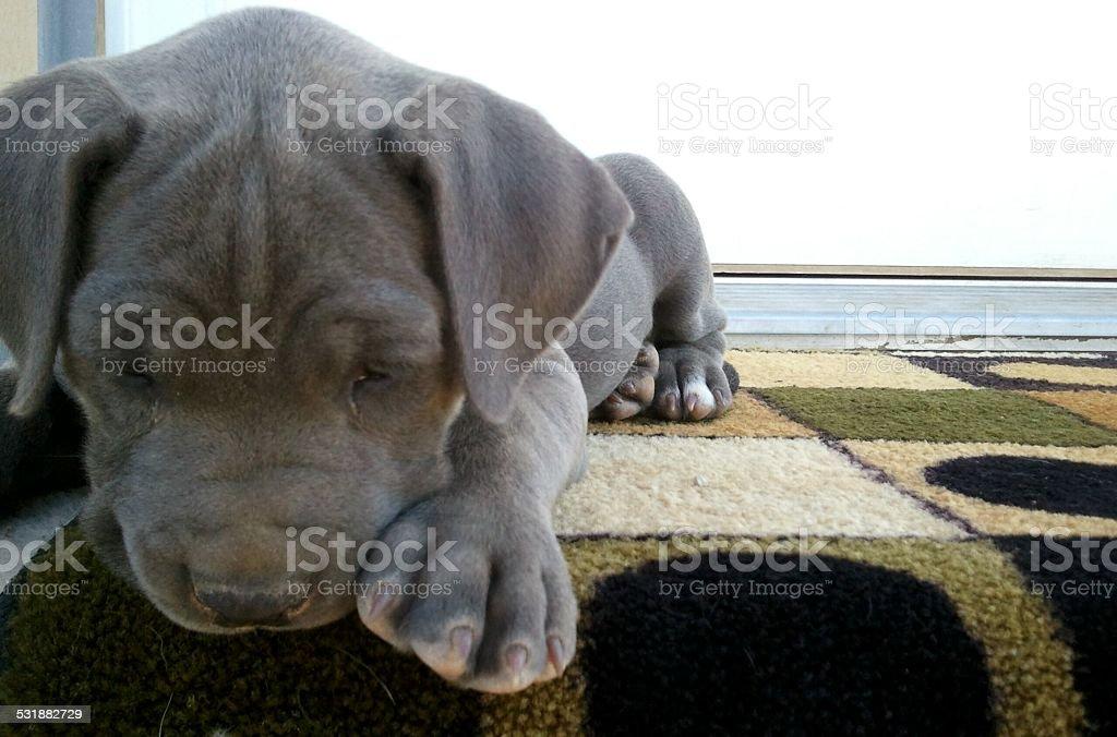 Mischievous Mastiff stock photo
