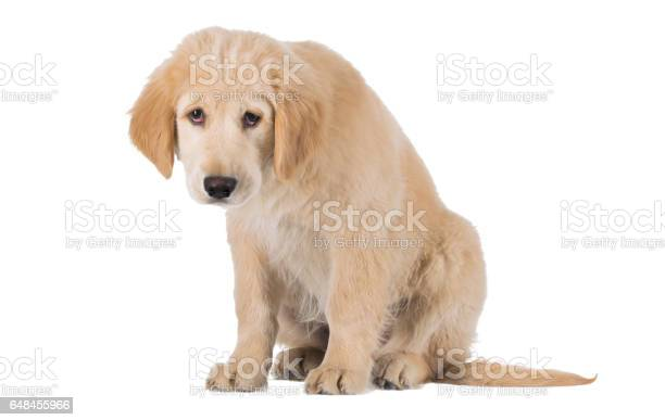 Miserable golden retriever puppy sitting front view isolated on white picture id648455966?b=1&k=6&m=648455966&s=612x612&h=nteknj2mhqhoxqw000xocpnhvpnhzyzjr1ogsxkolb4=
