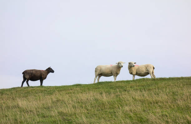 Misfit: A Black Sheep With Two White Sheep stock photo