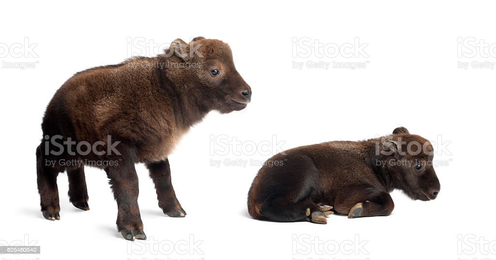 Mishmi Takins in front of a white background stock photo