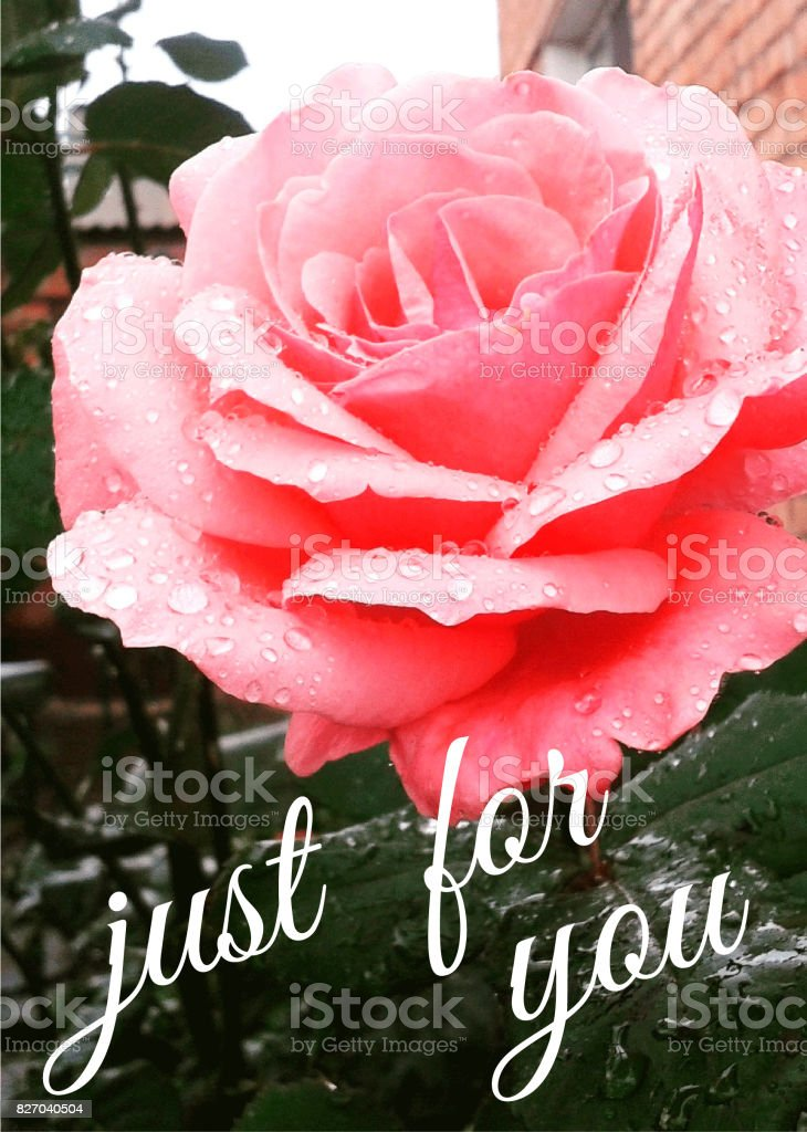 Miss You Rose Just For You Love You Stock Photo Download Image Now Istock