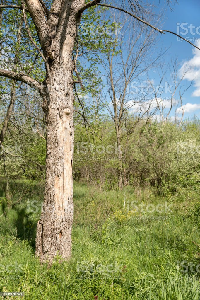 Missing Bark, Dead Tree Killed by Emerald Ash Borer, Dendrology Image stock photo
