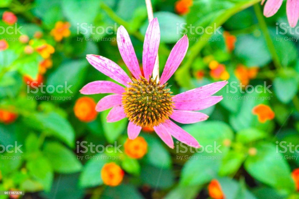 Missing petals and still beautiful stock photo