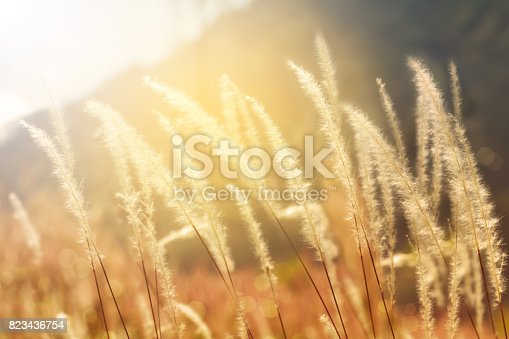 istock Mission grass backlitght glow against the sunlight 823436754