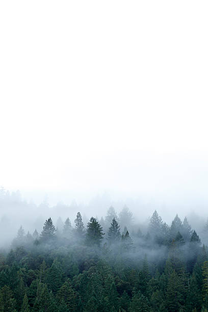 Mist in Forest Fog and mist surround a Redwood forest in northern California. redwood tree stock pictures, royalty-free photos & images