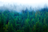 A fog covers the Redwood forest in Northern California.