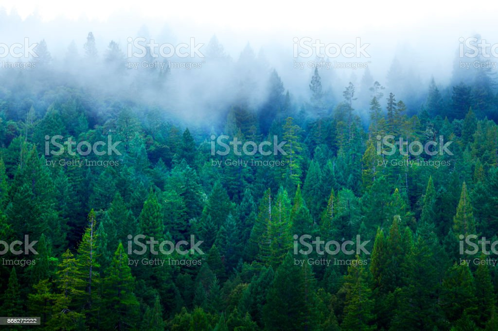 Mist In Redwood Forest stock photo