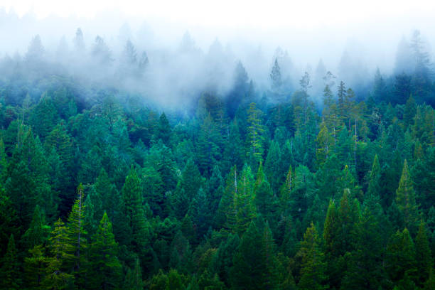 mist in redwood forest - trees in mist stock pictures, royalty-free photos & images