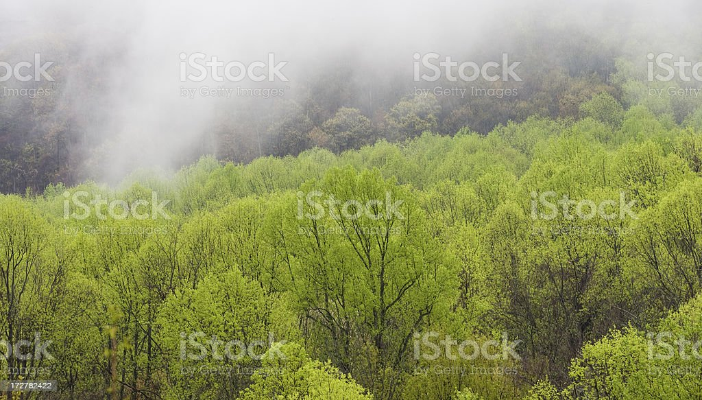 Mist over Spring Trees royalty-free stock photo
