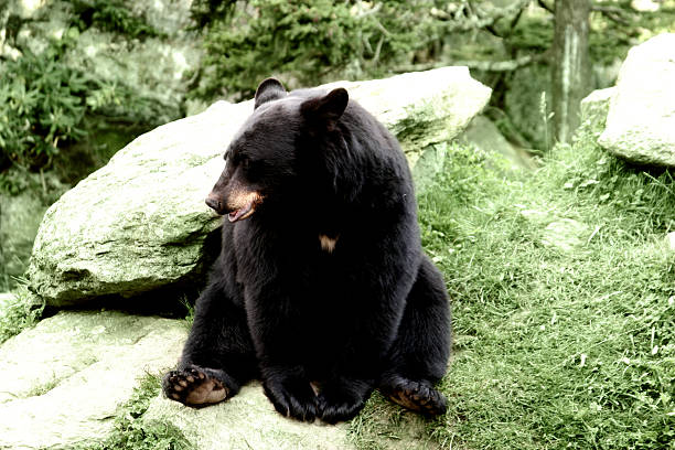 Mister Black Bear stock photo