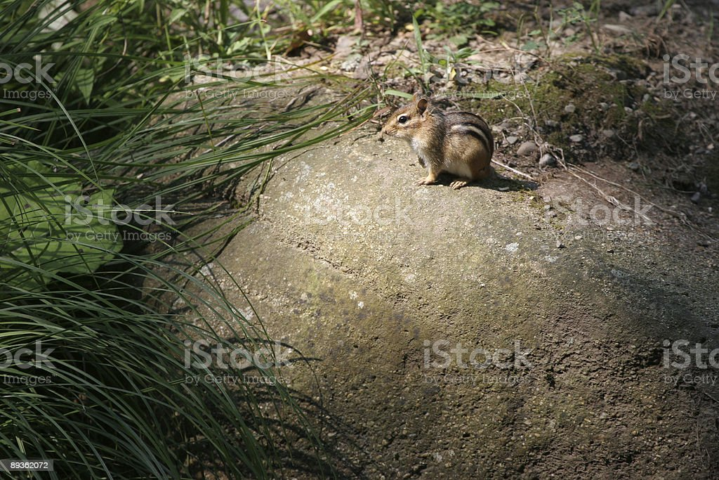 Mister Chipmunk royalty-free stock photo