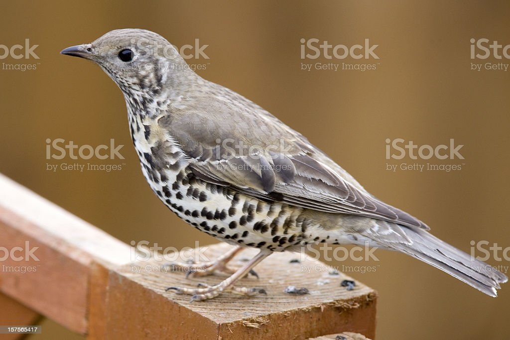 Mistle Thrush (Turdus viscivorus) royalty-free stock photo