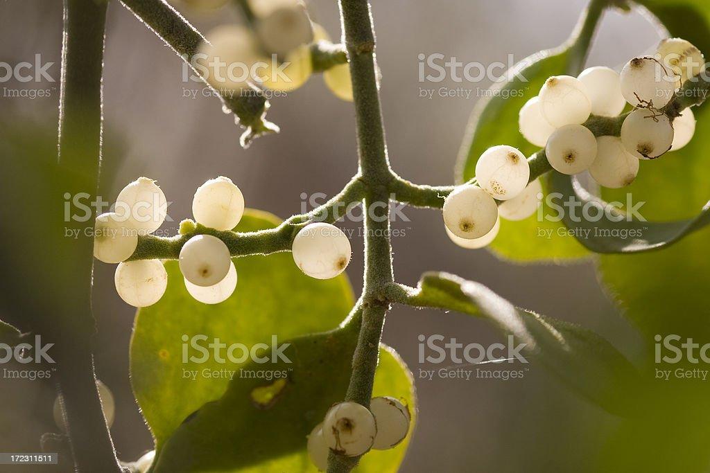 mistletoe berries stock photo