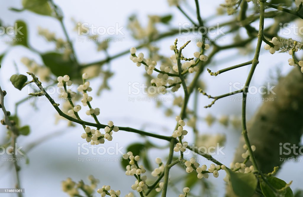 Mistletoe Berries royalty-free stock photo