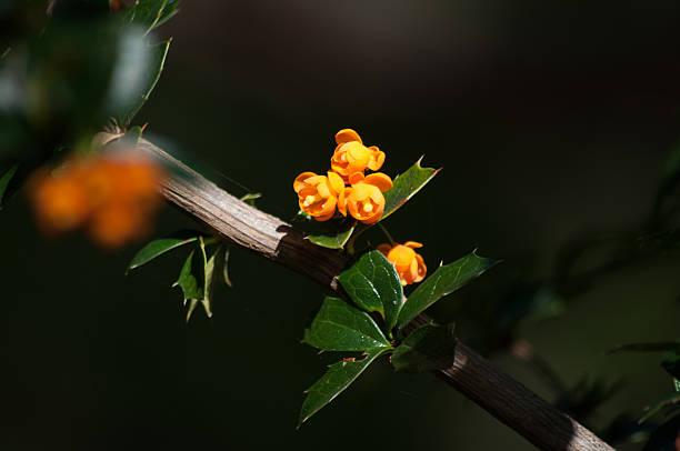 Muérdago flor naranja - foto de stock