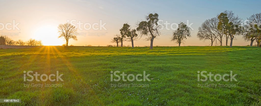 Mistletoe in trees on a hill in spring stock photo