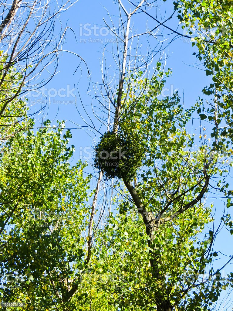 Mistletoe on a tree against blue sky photo libre de droits