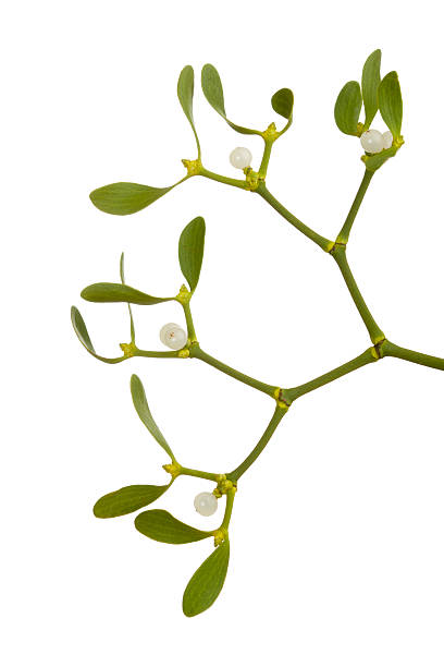 Mistletoe (Viscum album) stock photo