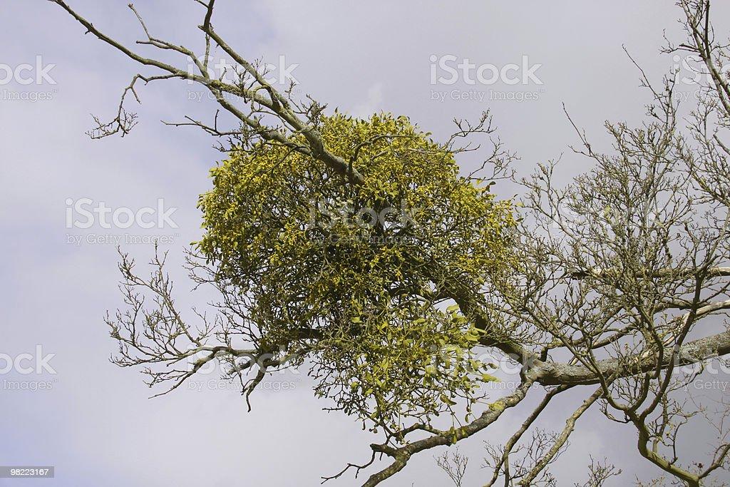 Mistletoe (Viscus album) royalty-free stock photo