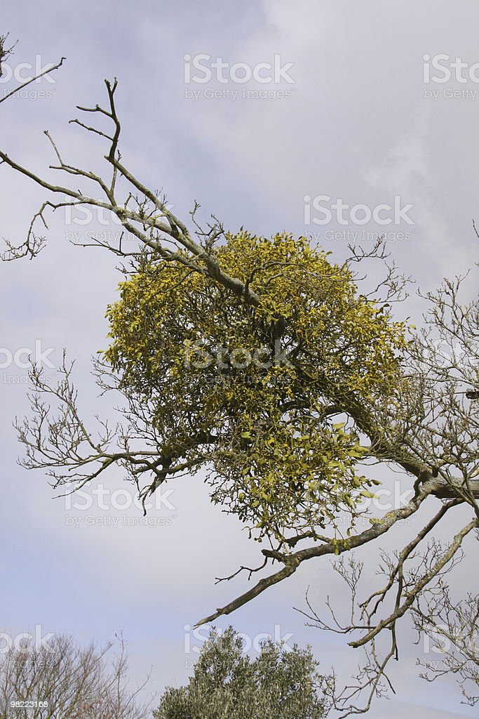Mistletoe (Viscus album) royalty-free stock photo
