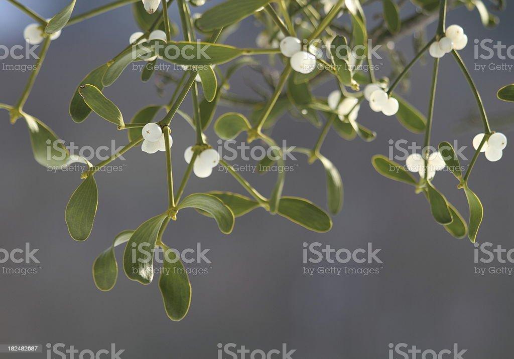 Mistletoe ( Viscum album ) with white berries royalty-free stock photo