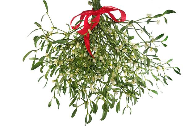 mistletoe's bunch with  red ribbon stock photo