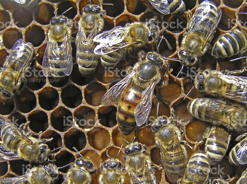 Mistress bee colonies royalty-free stock photo