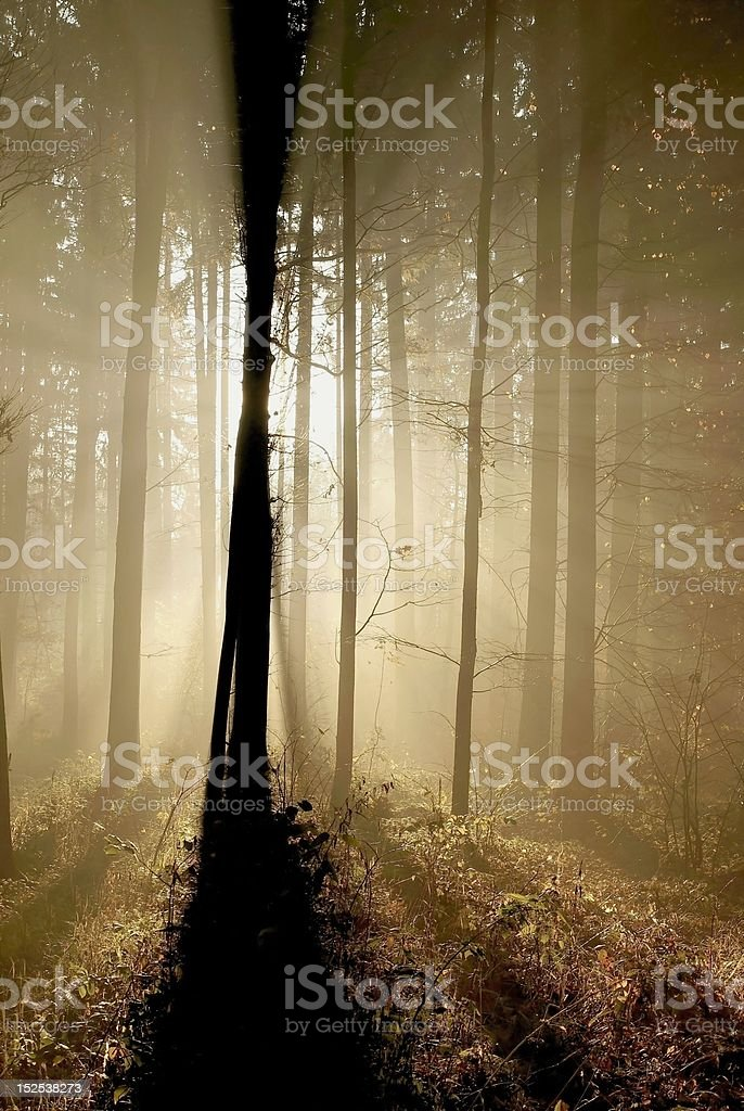 Misty autumn forest at dawn royalty-free stock photo