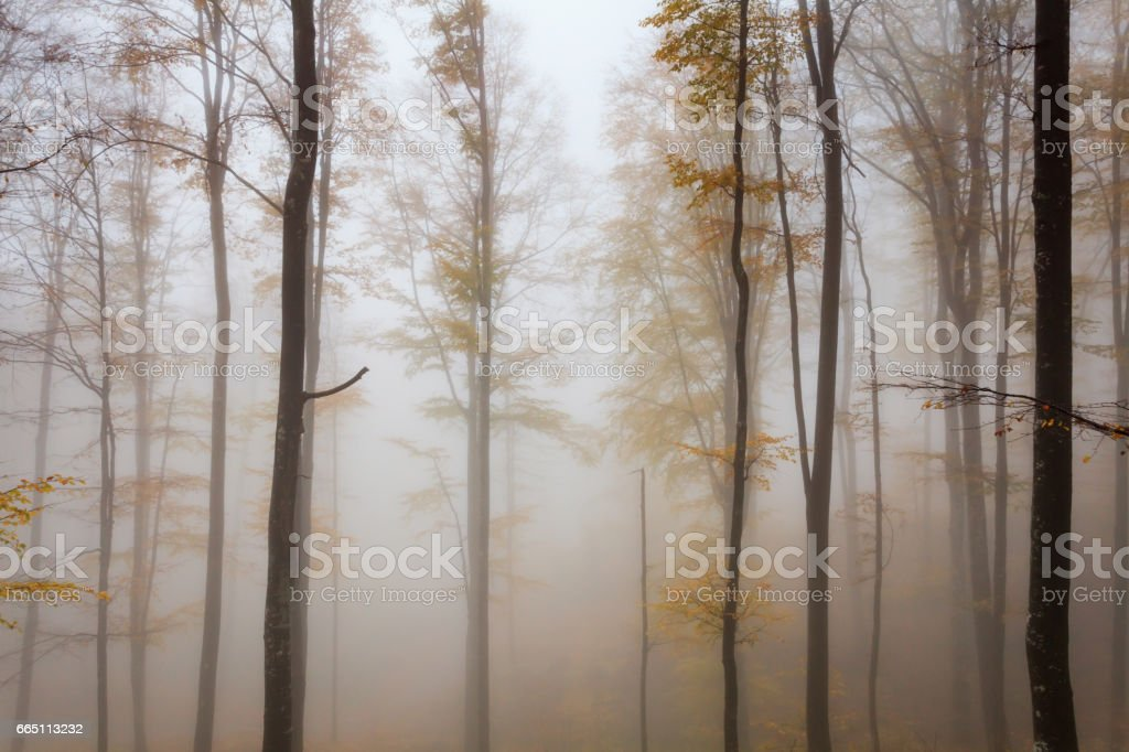 Misty autumnal beech forest stock photo