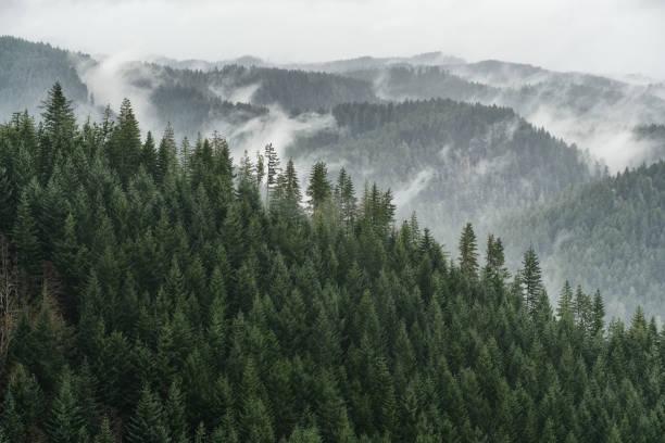 misty conifer forest vista - wybrzeże północno zachodnie pacyfiku zdjęcia i obrazy z banku zdjęć
