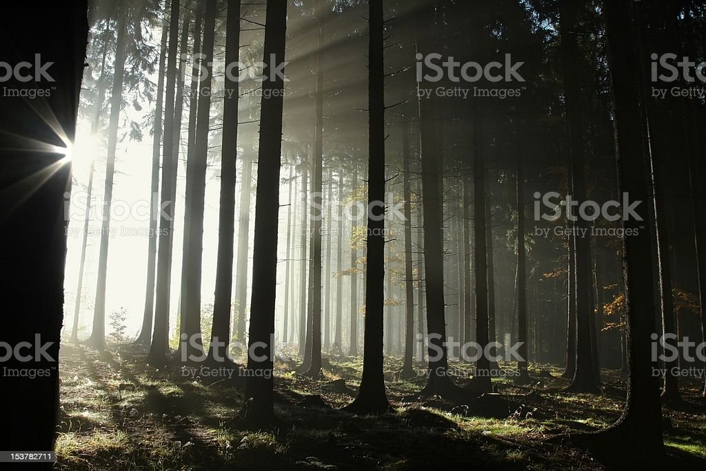 Misty coniferous forest at dawn royalty-free stock photo