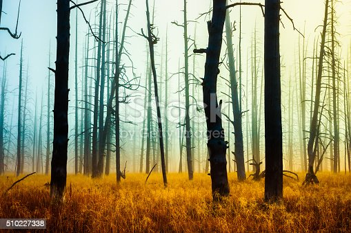 Misty silhouette dead pine forest in Yellowstone, Wyoming