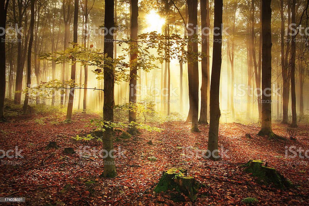 Misty Forest during Autumn royalty-free stock photo