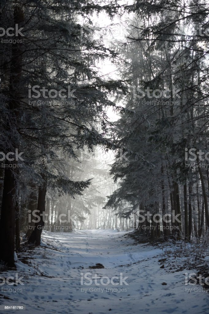 Misty forest in winter royalty-free stock photo