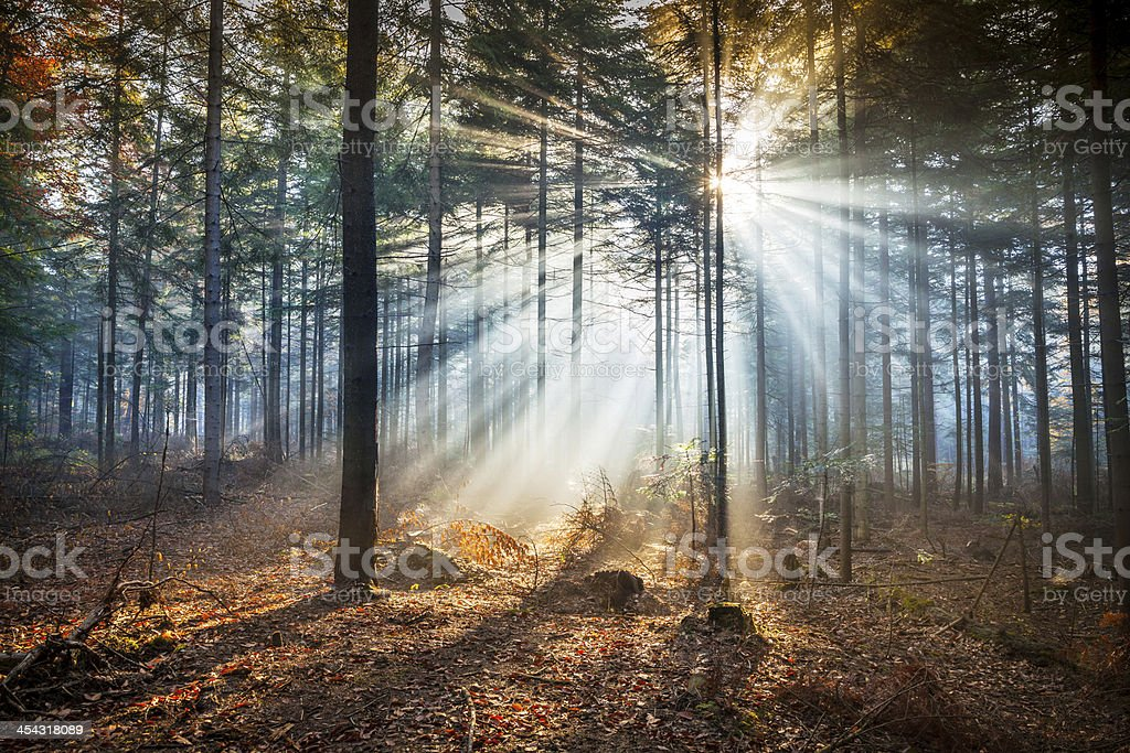 Misty forest - Morning Sun Beams royalty-free stock photo