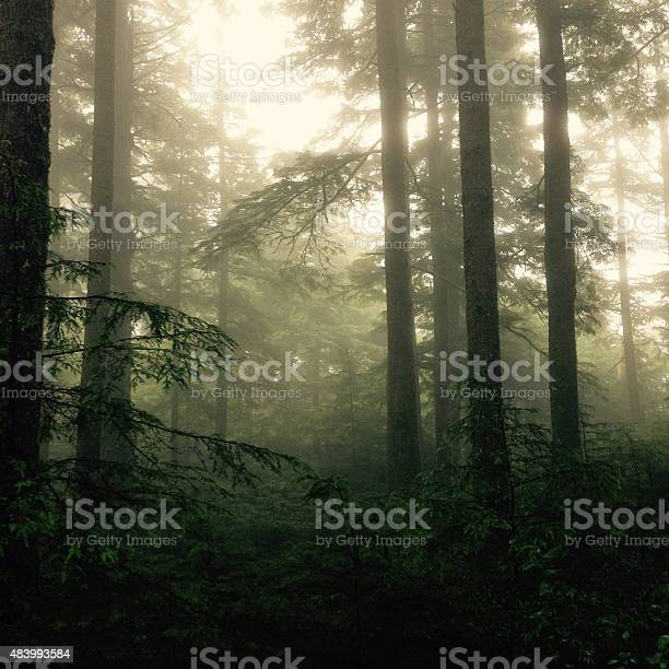 Misty Forest Stock Photo - Download Image Now