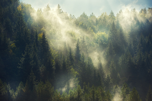 horizontal nature background with misty forest in sunny morning.nobody.