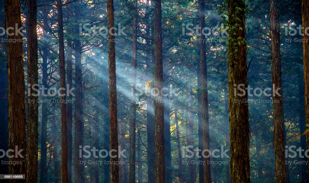 Misty forest with sunlight stock photo