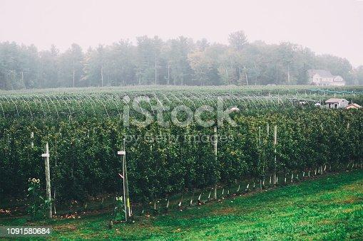 613534346istockphoto Misty landscape of an apple orchard 1091580684